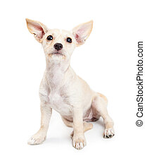 Young Chihuahua Mixed Breed Puppy Looking Up - Cute little...