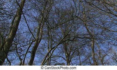 Deciduous tree branches agains a blue sky + pan low angle -...