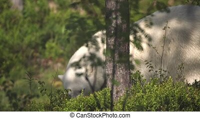 polar bear in summer