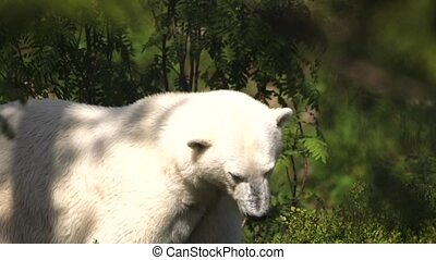 polar bear in summer