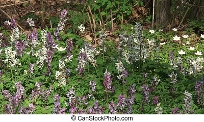 carpet of blooming Corydalis solida or Bird in the Bush is...