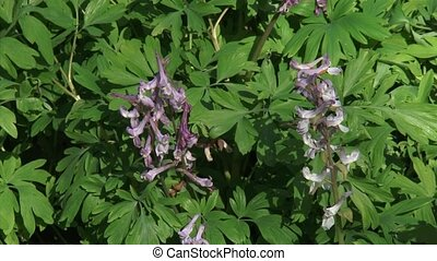 Hollowroot, Corydalis cava in bloom, a decorative ground...