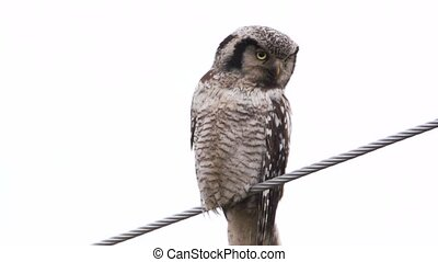 northern hawk owl -Surnia ulula - in sweden