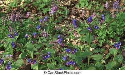 Pulmonaria officinalis, Lungwort in bloom + pan ground...