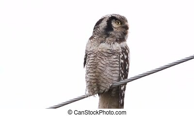 (northern) hawk owl -Surnia ulula - in sweden