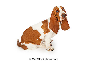 Sad Looking Basset Hound Dog Sitting