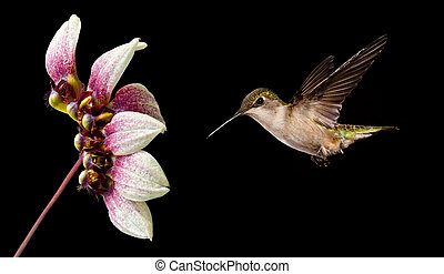 Flying Hummingbird - Hummingbird (archilochus colubris) in...