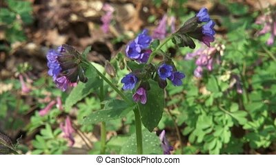 Pulmonaria officinalis, Lungwort in bloom - low angle, close...
