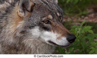 closeup of a european wolf
