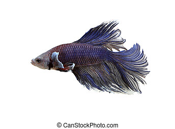 Purple fighting fish isolated on white.