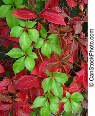 Green and red woodbine leaves - green and red leaves of...