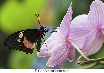 Papilio anchisiades Ruby-Spotted Swallowtail