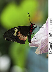 butterfly - Papilio anchisiades Ruby-Spotted Swallowtail