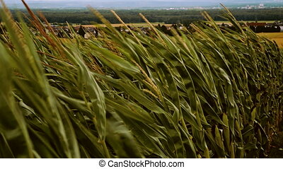 windy cornfield in german rural area - strong winds blow in...