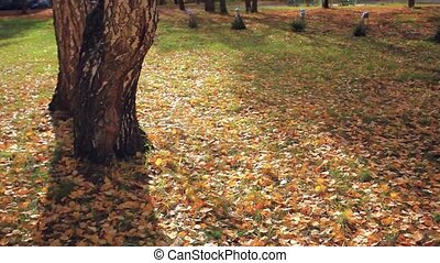 fallen leaves in autumn forest at sunny weather near the tree