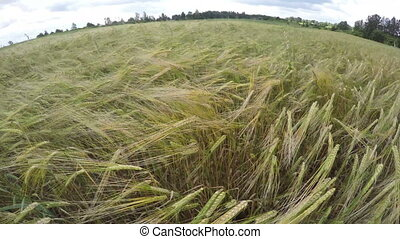 beautiful summer end barley field in wind Farmland landscape...