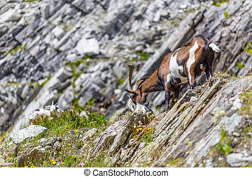 Goat in alps, summer season