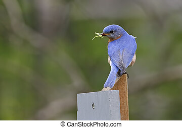 Male Eastern Bluebird with a Grasshopper in its Beak - A...