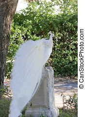 peafowl - A white peahen running around in the park