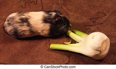 eating guinea pig - guinea pig eat the fennel (part 1 of 2)