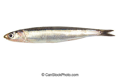 Whole single fresh raw european anchovy isolated on a white...
