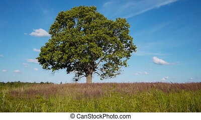 Lonely maple on summertime - Shot of lonely maple on a...