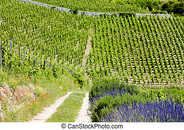 grand cru vineyard, LHermitage, Rhne-Alpes, France