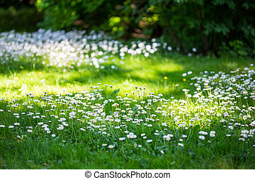 Daisies in meadow. - Summer meadow with marguerites and...