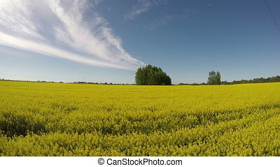 beautiful blossoming rapeseed field