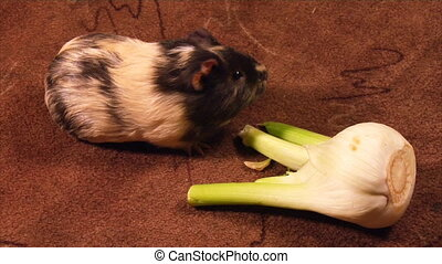 eating guinea pig - guinea pig eat the fennel part 2 of 2