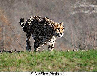 Cheetah on the Move - Cheetah at the zoo approaching the...