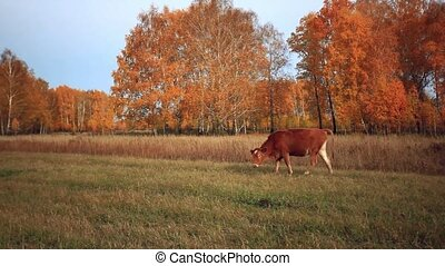 Cow at the pasture in the autumn