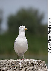 Caspian gull, Larus cachinnans, single bird by water,...