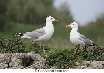 Caspian gull, Larus cachinnans, two birds by water, Romania,...
