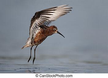 Curlew sandpiper, Calidris ferruginea, single bird in water...