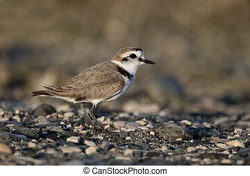 Kentish plover, Charadrius alexandrinus, single female on...