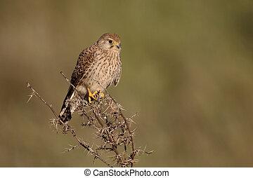 Lesser kestrel, Falco naumanni, single female on branch,...