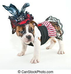 Pirate wench - Silly Bulldog puppy drssed up like a pirate...