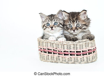 Friendship - Two adorable kittens sitting in a basket...