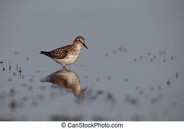 Little stint, Calidris minuta, single bird in water,...