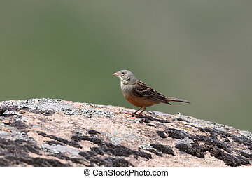 Ortolan bunting, Emberiza hortulana, single bird on rock,...
