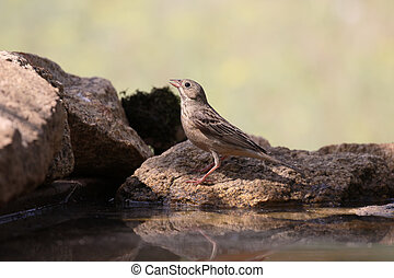 Ortolan bunting, Emberiza hortulana, single bird by water,...