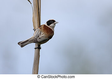 Penduline tit, Remiz pendulinus, single bird on reed,...