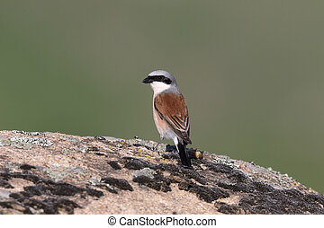 Red-backed shrike, Lanius collurio, single bird on rock,...