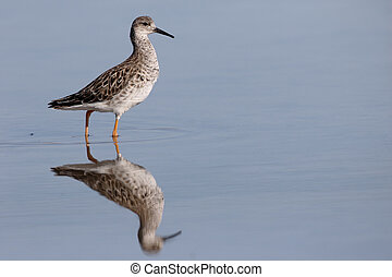 Ruff, Philomachus pugnax, single bird in water, Cyprus,...