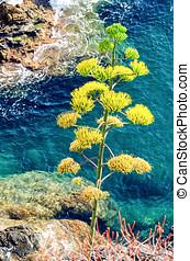 agave, planta, en, Cinque, Terre, Liguria, (Italian,...