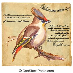 Bohemian Waxwing - An hand painted vector - An hand painted...