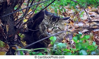 Big maine coon cat under the tree in the autumn forest HD...