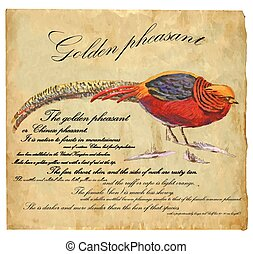Golden Pheasant - An hand painted vector - An hand painted...