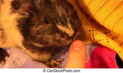 guinea pig lick a human finger